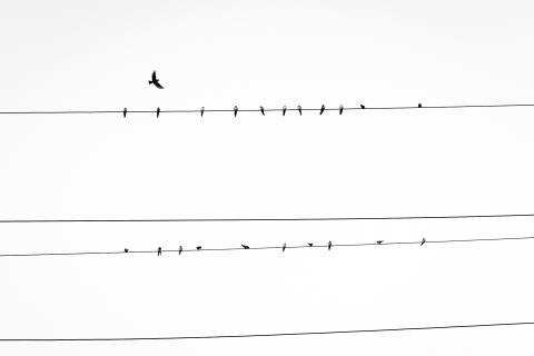 vogels-op-kabels